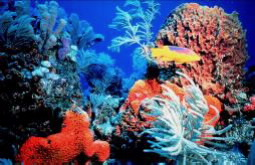 Description: Coral-reef-credit-NOAA.jpg