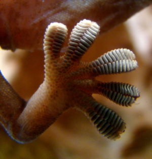Close-up image of a gecko foot