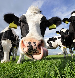 Cow Power: A Climate Change Solution from Manure image
