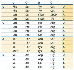Chart Of The Genetic Codes Describing 20 Amino Acids