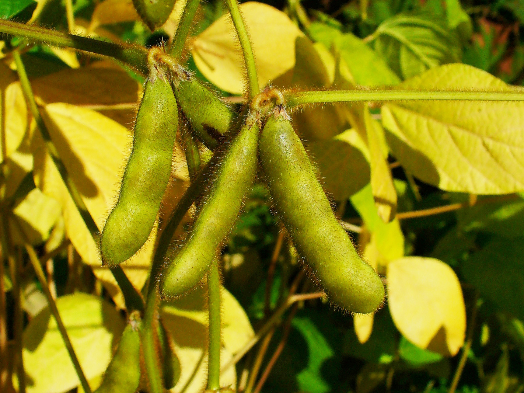 Mature soybeans.