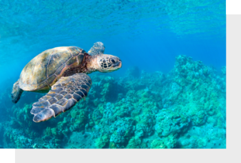 Turtle swimming in tropical turquoise water