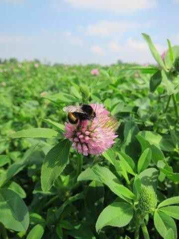 112719-neonic-red-clover