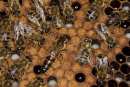 Enhanced royal jelly produces jumbo queen bee larvae ...
