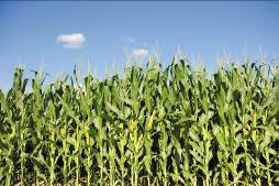White Rot Fungus Boosts Ethanol Production From Corn