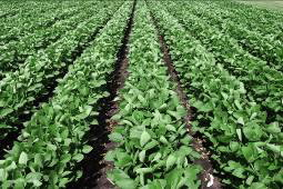 Soybean plants grown in farm soil