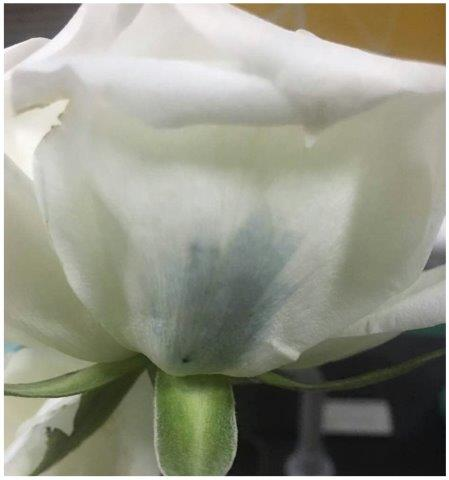 5f956590e Blue roses could be coming soon to a garden near you - American ...