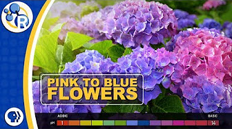 How Can You Change the Color of Hydrangeas? image