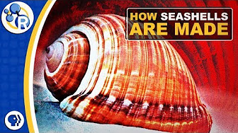 How Seashells Are Made image